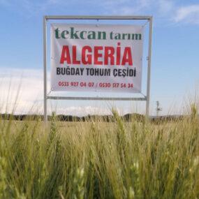 algeri tohum